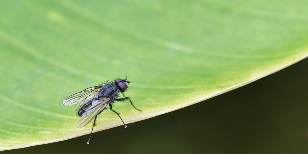 Bestrijden van rouwvliegjes